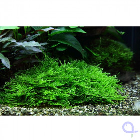 Taxiphyllum Spiky Moss - Stachelmoos 1-2 Grow