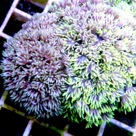 """Goniopora sp. """"Two in One"""""""