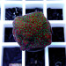 "Montipora sp. ""Green Flowers"" Ableger"