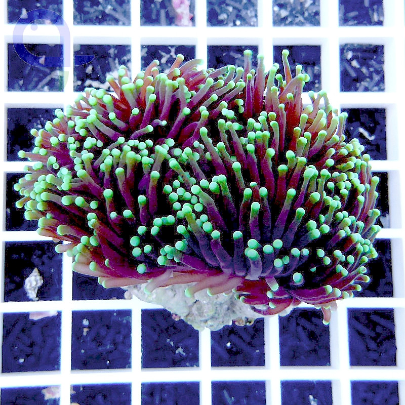 "Euphyllia glabrescens ""Purple Torch"""