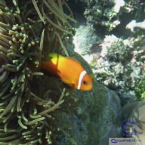Amphiprion nigripes - Malediven Anemonenfisch