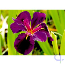 Iris louisiana Black Gamecock - Sumpfiris