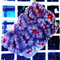 Acanthastrea lordhowensis Purple 'n Red