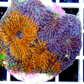 Acanthastrea echinata Orange-Lila Multicolor Frag