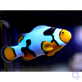 Amphiprion percula picasso - PAAR