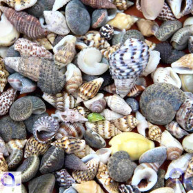 Snail Shells for Hermit Crabs (L)
