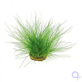 Eleocharis acicularis - Needle/Dwarf Swamp Rush