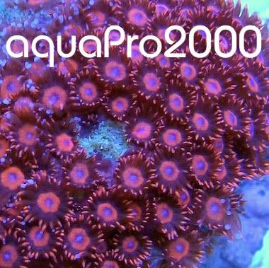 aquaPro2000 LPS Koralle