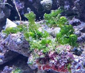 Lebender Stein mit Algen