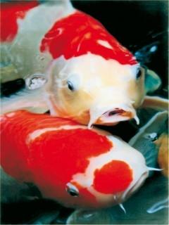 Intensive Farben von Kois durch AquaForte Growth & Color