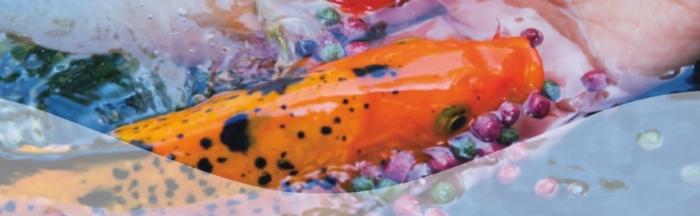 Schöne Farben durch Spirulina Koifutter