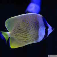 Chaetodon kleinii - Klein`s Falterfisch
