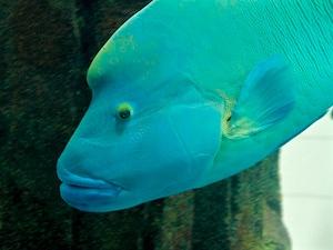Napoleon Lippfisch