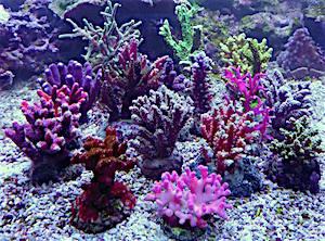 SPS Korallen