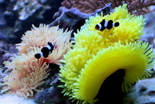 Seeanemone im Meerwasseraquarium