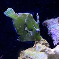 Acreichthys tomentosus - Tangfeilenfisch