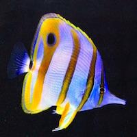 Chelmon rostratus - Orangebinden-Pinzettfisch